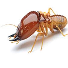 termitebig
